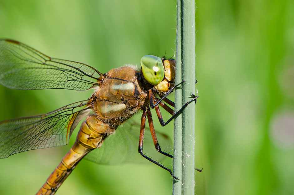 Dragonfly_13