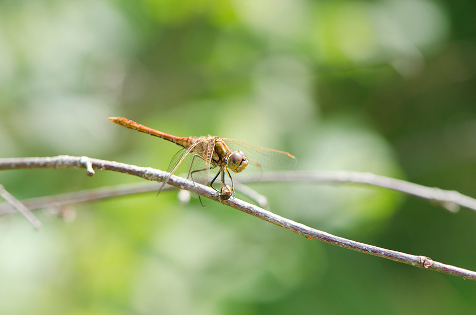 Dragonfly_4