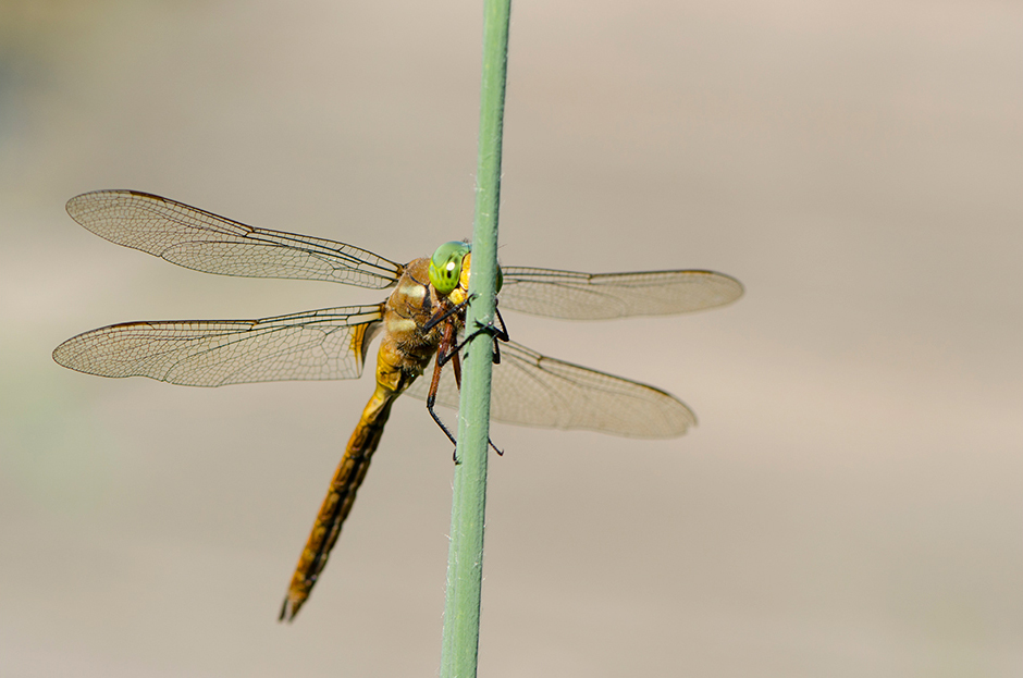 Dragonfly_8